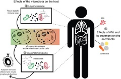 Fig. 1 Putative interactions between the intestinal and/or lung microbiome and the host that could influence the outcome of M. tuberculosis (Mtb) infection and treatment.