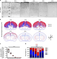 Fig. 1 Progressive changes in neocortical interneuron output of dividing NKX2.1+ MGE/PoA RGPs.