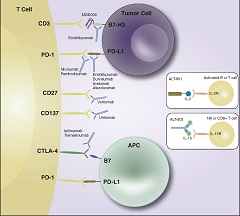 Fig. 1 Immunotherapeutic targets in urothelial malignancies.