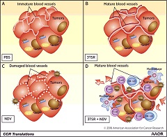 Fig 1. Vascular normalization potentiates the efficacy of oncolytic immunotherapy.