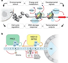 Fig 1. Histones as signal integrators and cancer driver genes. a, Chromatin integrates environmental and developmental signals to control essential cell processes, including those dysregulated in cancer. b, Mechanisms and cancer type associations for known H3 oncohistone mutations. HNSCC, head and neck squamous cell carcinoma.