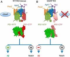 Proposed model of GSAP modulation of γ-secretase activity.