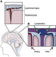 Anatomic compartments in the central nervous system.
