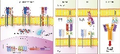 Figure 4. Targeted T cell receptor (TCR) delivery and TCR‐like structures.