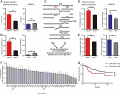 Fig 1. HPV-associated head and neck cancers are associated with increased utilization of microhomology at deletion breakpoints without signatures of homologous recombination deficiency.
