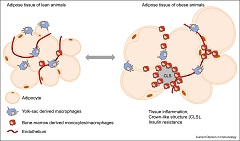 Figure 1. Macrophages of distinct developmental origin coexist in the adipose tissue of lean and obese animals.