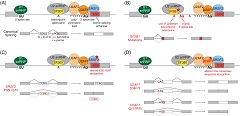 Figure 2. Functional consequences of SF3B1, SRSF2, and U2AF1 mutations in on RNA splicing.