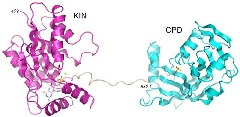 Figure 1. Structure of Candida Trl1 KIN-CPD.