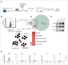 Figure 3. Etv6 binding precedes cohesin binding at cis-regulatory elements of genes upregulated during erythropoiesis.