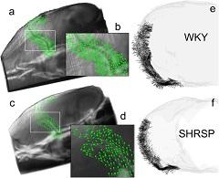 Fig 6. Advective flux vectors along the MCA show aberrant flow in SHRSP.