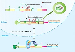 Fig 7. Model of oncogenic splicing factor mutation-induced altered splicing and aberrant NMD.