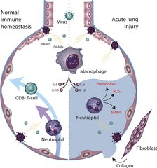 Figure 1. Innate immune regulation of antiviral defense and tissue toxicity. Virally derived DAMPs and PAMPs activate tissue-resident macrophages.