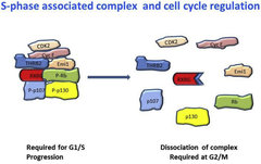 Fig. 2. A diagrammatic representation of the eight proteins known to be involved in cell cycle regulation, the complex is designated as S-phase complex.