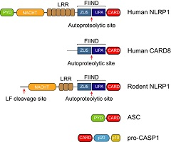 Fig 1. Domain architecture of the NLRP1 inflammasome proteins.