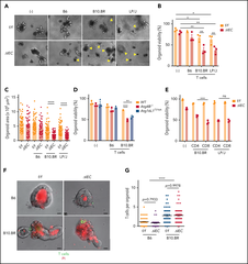 Figure 3. Allogeneic T cells induce cell death in intestinal organoids with autophagy gene mutations.