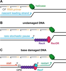 Figure 8. Two components of DNA replication-dependent LexA cleavage.