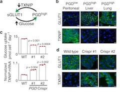Fig 2. TXNIP suppression is PGD-dependent.