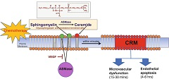 Fig 1..Scheme for chemotherapy induced ceramide-rich microdomains (CRM = CRP ceramide-rich platforms) generation.