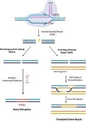 Fig 2. CRISPR/Cas9 mediated gene editing.