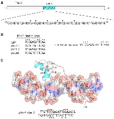 Figure 4. Transcription factor Pho7 recognizes a UAS element in the PHO mRNA promoters.