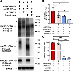 Fig. 3. Effect of brefeldin A on expression of mMOR-1/Flag induced by mMOR-1G/HA and heterodimerization of mMOR-1/Flag and mMOR-1G/HA in OPRM1-KD Be(2)C cells.