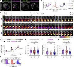 Fig 5. Lineage-Specific Dynamics of ERK Activity in ICM Cells.