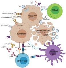 Fig 1. Newcastle disease virus (NDV) activates innate and adaptive anti-tumor immune responses.