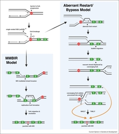 Figure 2. Candidate mechanisms of tandem duplication formation in BRCA1-deficient cells.