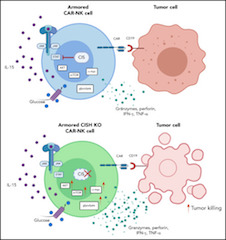 Fig 1. Deletion of CIS in CAR-NK cells enhances IL-15 signaling by removing an immune checkpoint, which leads to increased activation of the AKT/mTOR pathway and, in the presence of tumor cells, enhanced c-Myc activation.