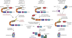 Fig 1. Proposed mechanisms of NLRP1 activation.