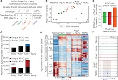 Fig 1. Tissue damage induces cancer-associated chromatin states in pre-malignancy.
