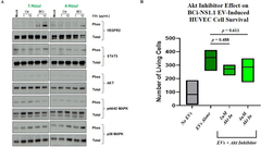 Figure 5. Downstream effectors of human airway basal cell EV–mediated survival of HUVECs.