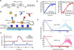 Fig 1. Smart-ORF cell-free system for imaging both uORF and mORF translation on single mRNA molecules.