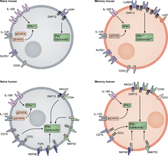 Figure 2. Human and mouse memory NK cell traits.