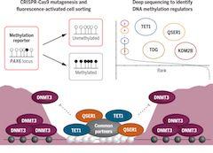 QSER1 safeguards DNA methylation valleys from de novo methylation.