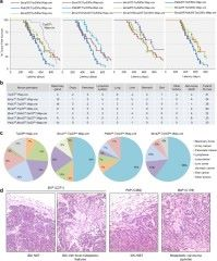 Fig 1. Tumor development in mice with individual and combined ablations of Brca1, Palb2, Brca2, and Trp53.