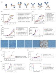 Fig 1. Bispecific antibody platform has profound effects on the antitumor activity of bispecific antibody armed T cell immunotherapy. (A) BsAb structural platform.