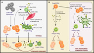 Fig 1. Differentiation of Thymic and Induced Treg Cells.