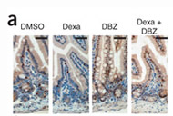Fig 5a. NOTCH-HES1 signaling regulates KLF4 expression in the gut.