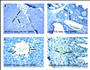 Figure 2. A, HER-2/neu mammary tumor in Id1+/+ mouse stained for Id1 using anti-Id1 antibody 37-2...