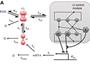 Fig 5. Phage lambda cI self-regulation kinetics.