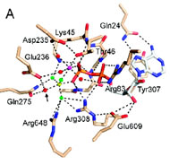 Fig 2a. ATPase active site and DNA contacts.