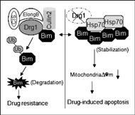 Fig 6. A model for the function of Drg1 in the regulation of Bim protein stability.