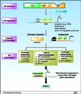 Fig 1. Androgen receptor reactivation in prostate cancer progression