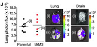 Fig 2j. H2030 parental and H2030-BrM3 cells were implanted with Matrigel in the lung via intrathoracic inoculation.
