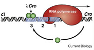 Fig 1. The lambda epigenetic switch: the Cro gene is transcribed but the repressor gene (cI) is not. An early stage of lytic growth of the phage is shown.