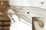 Fig 4E. Wild-type thorax.