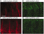 Fig 2. Expression of membrane-tethered axin blocks Wg signaling in the epidermal patterning of Drosophila embryos.