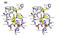Fig 6b. Stereo image of the active site of HsPDF with actinonin. HsPDF residues, in gray, contacting actinonin, yellow, are shown as sticks.