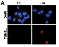 Fig 5a. Integrin-specific mTORC1 signaling promotes cell survival.